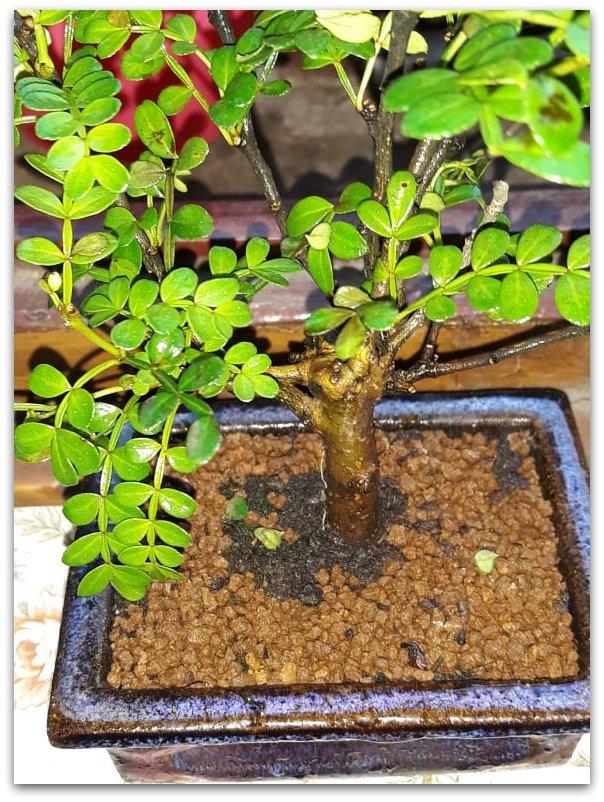 Pepper tree: foglioline macchiate di nero 58570410