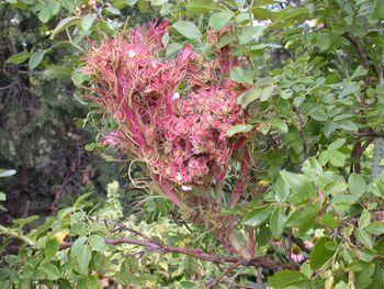 Une inflorescence ou un parasite ? 350px-10