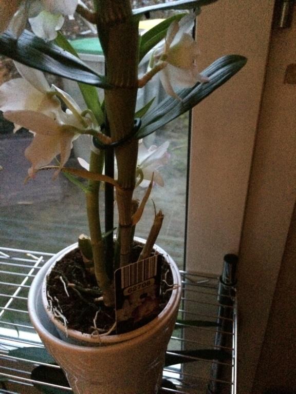 Dendrobium feuilles jaune C665d010