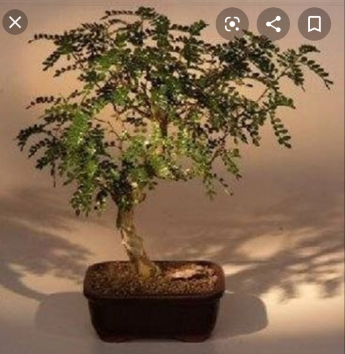 primo bonsai pepper tree: chiedo consigli - Pagina 2 20200410