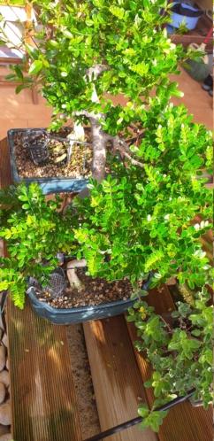 primo bonsai pepper tree: chiedo consigli - Pagina 2 20200413