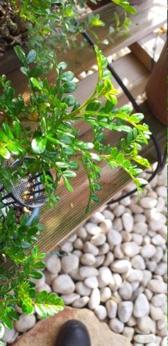 primo bonsai pepper tree: chiedo consigli - Pagina 2 20200414