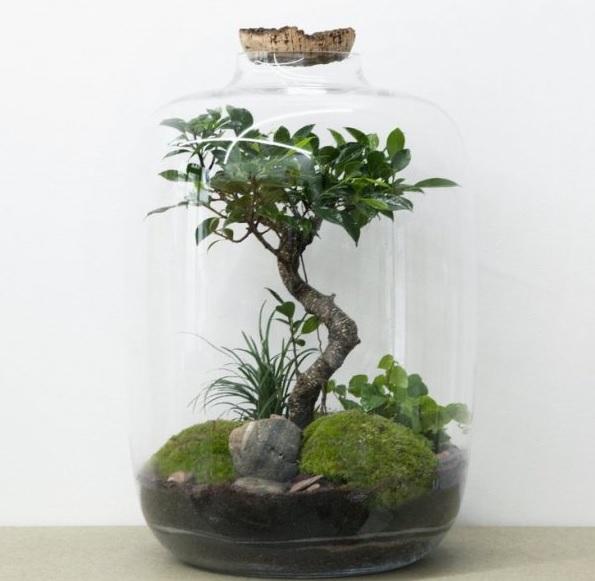 """Ficus retusa in """"terrario"""" Immagi12"""