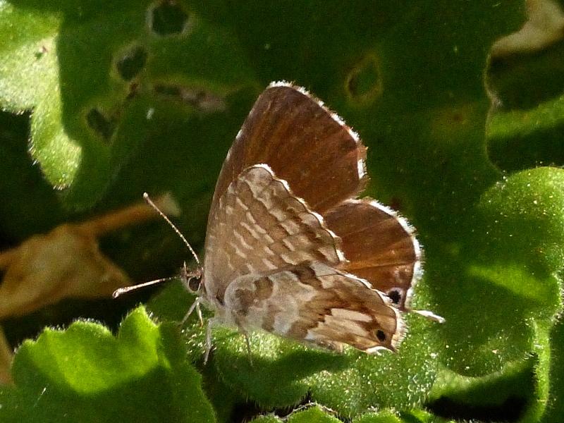 Brun du pélargonium Brun_d11