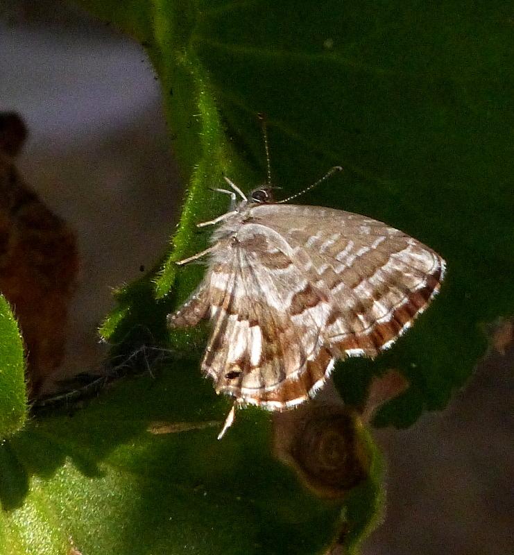 Brun du pélargonium Brun_d12