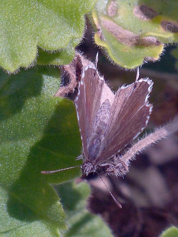 Petit papillon brun Brun_d13