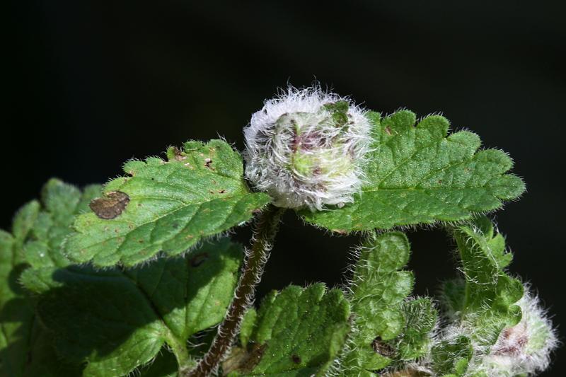 Botanique et entomologie Galle_10