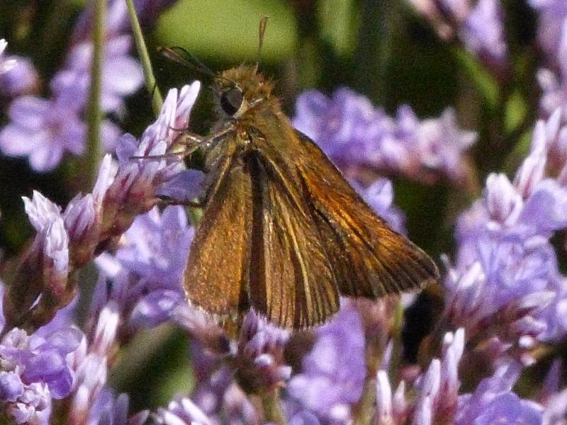 Papillon Papill22