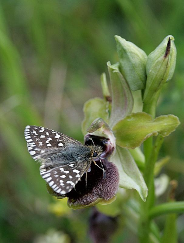 Papillon sur orchidée Papill23