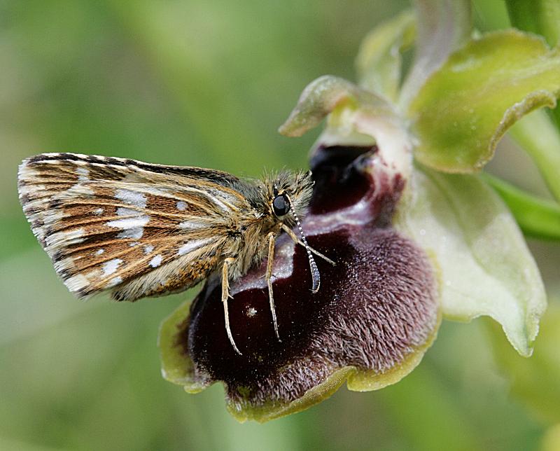 Papillon sur orchidée Papill24