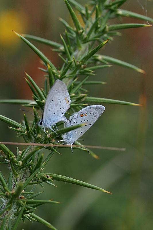 Papillons azurés Papill26