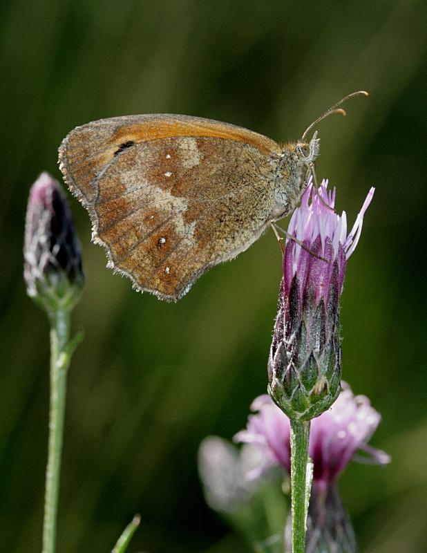 Papillon Amaryllis Papill28