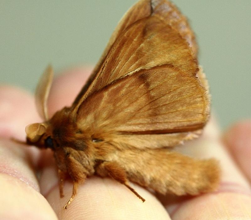 Papillon nocturne Papill30