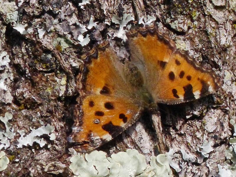 Papillon précoce Papill32