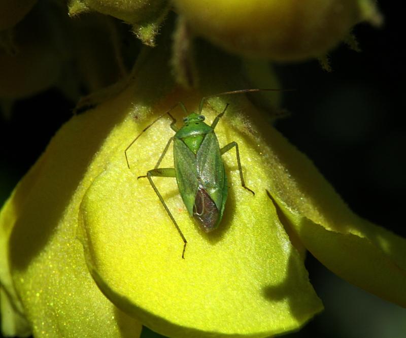 Petite punaise verte Punais12