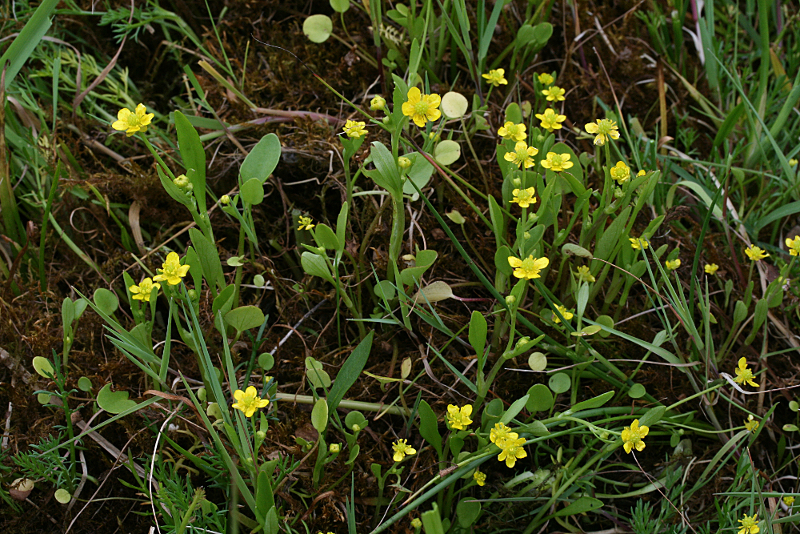 Ranunculaceae étang des Maffrais (35) :  Ranunculus flammula + ophioglossifolius Renonc11
