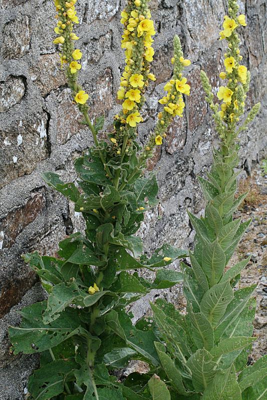 [Verbascum pulverulentum] + Verbascum phlomoides et densiflorum Verbas12
