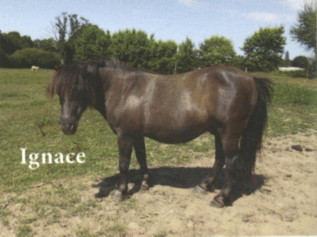 IGNACE - OI Poney typé Shetland né en 1996 - accueilli chez Pech-Petit en septembre 2017   Ignace10