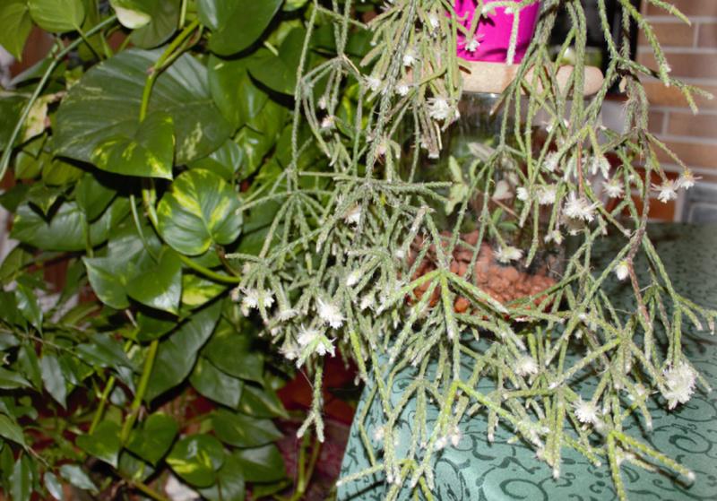 Kakteen Bilder 2 - Seite 13 Kaktus10