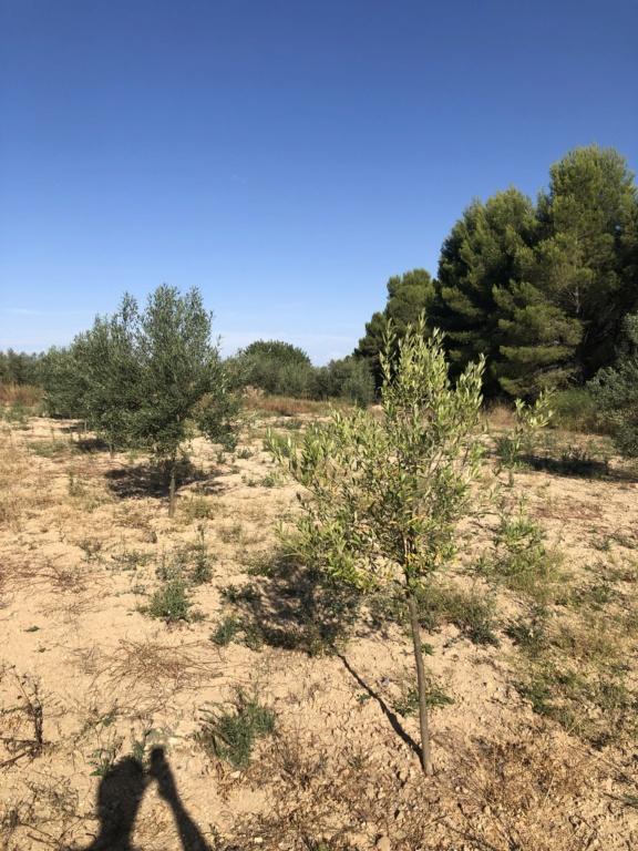Olivos estancados con hoja amarilla (Valencia) Img_2610