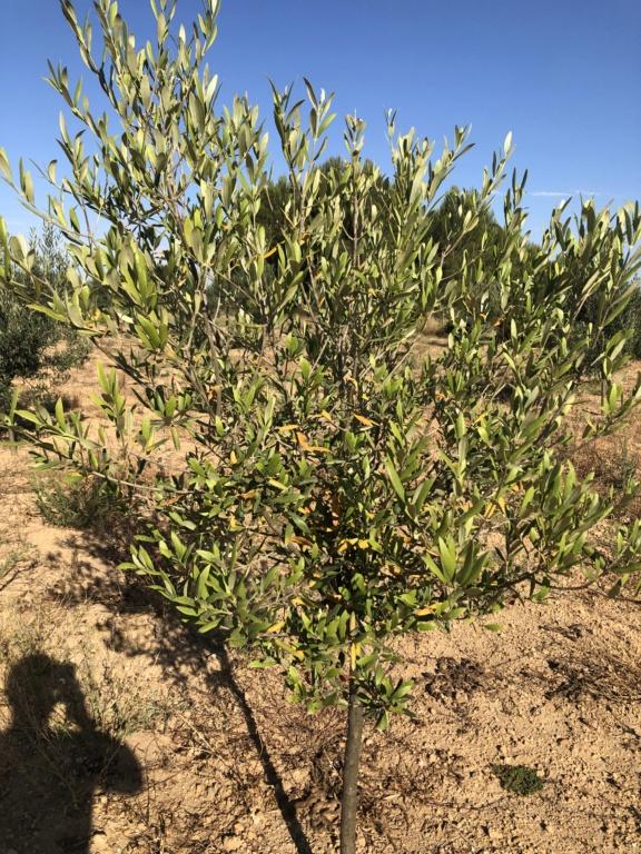 Olivos estancados con hoja amarilla (Valencia) Img_2611