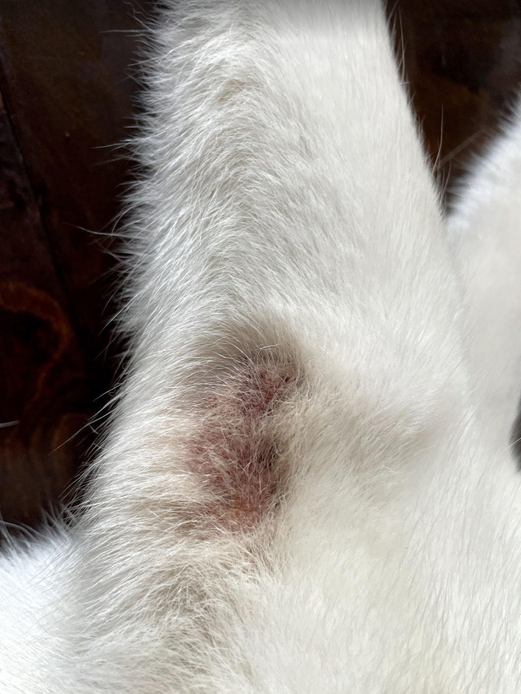 2 year old Husky has mouth sores and patch on leg Screen11