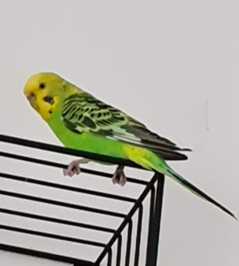 (Aide svp) Notre perruche ondulée femelle s'est enfuie! Receiv10