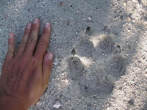 Qui est capable de m'identifier cette piste d'animal ? 29249710