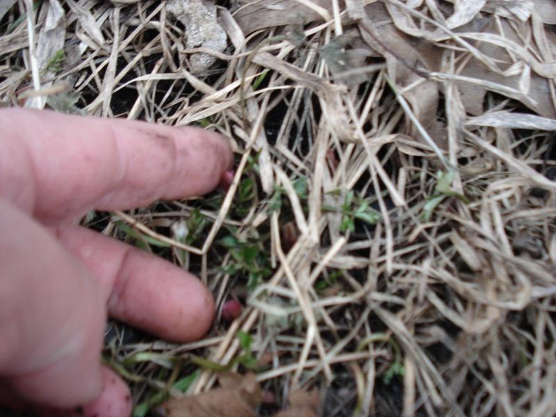 28 mars 2010, l'ail des bois pointent... Dsc02818
