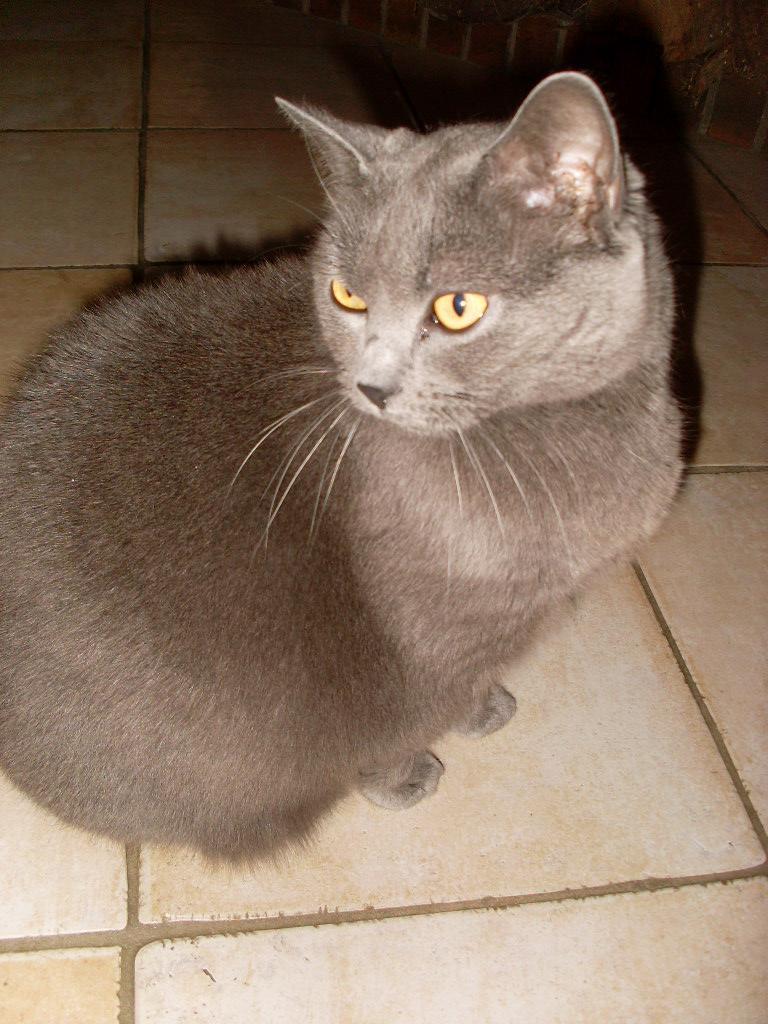 3 chats suite à maladie : une maine coon, une chartreuse et un gouttiére dans le 60 Anthea10