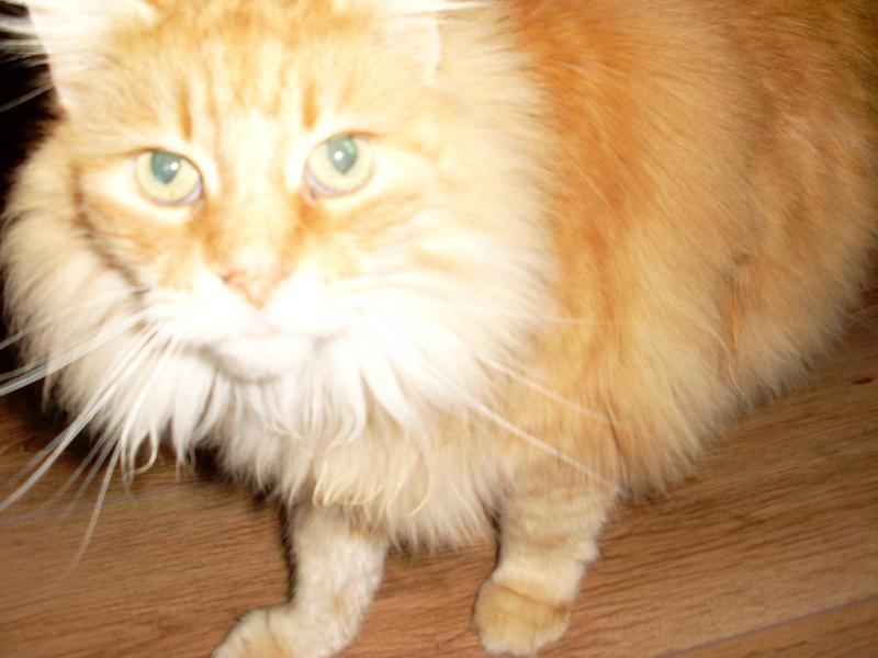 3 chats suite à maladie : une maine coon, une chartreuse et un gouttiére dans le 60 Sl372010