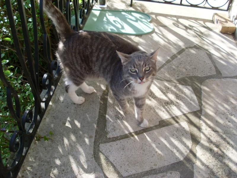 3 chats suite à maladie : une maine coon, une chartreuse et un gouttiére dans le 60 Sl372211