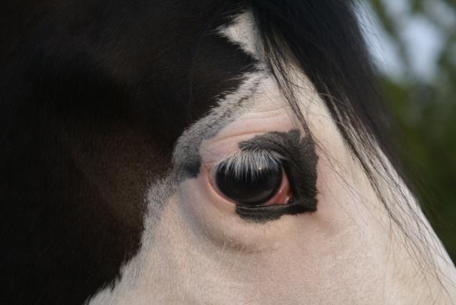 """Concours photo """" oeil de chevaux"""" venez votez ! Dsc06615"""