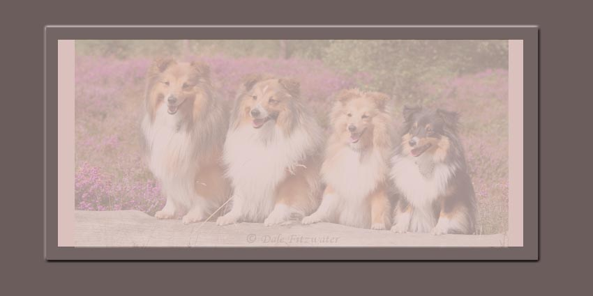 All 4 Shelties