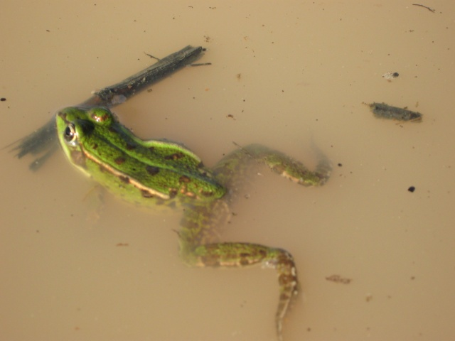 Herping du 28 Février 2009 - Salamandres et tritons . Img_0317