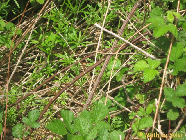 herping du 8 Mai 2009 - Natrix Natrix et Vipera Berus Img_1913