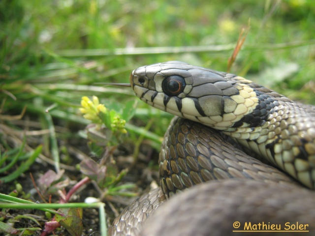 herping du 8 Mai 2009 - Natrix Natrix et Vipera Berus Img_1927