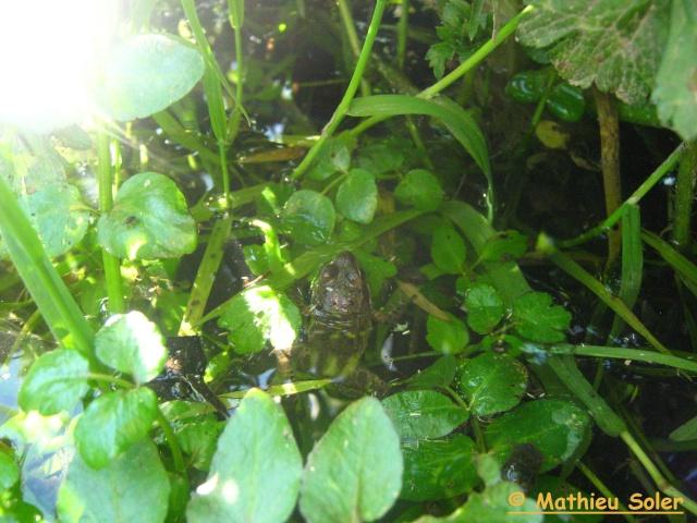 Herping rapide du 21 Mai 2009 - Natrix Natrix énorme et Coronella Austriaca ainsi que quelques Péliades . Img_2219