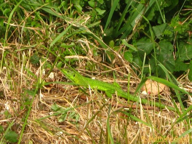 Herping du 6 Juin 2009 et autre - Coronelle Lisse et vipère péliades Img_2415