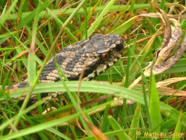 Herping du 6 Juin 2009 et autre - Coronelle Lisse et vipère péliades Img_2421