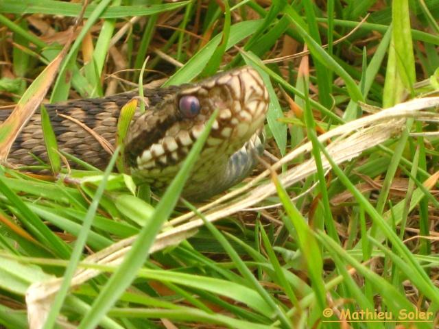 Herping du 6 Juin 2009 et autre - Coronelle Lisse et vipère péliades Img_2422