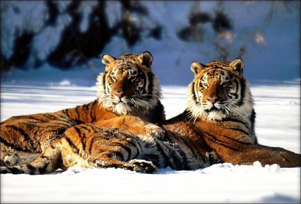 †. The CatWorld Tigre10