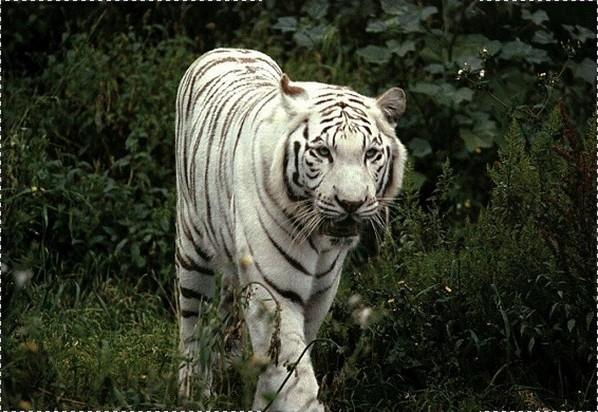 †. The CatWorld Tigre111