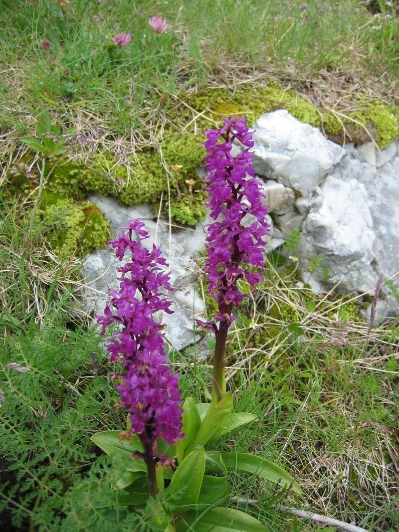 La flore en Haute Tarentaise - Page 2 Img_2619