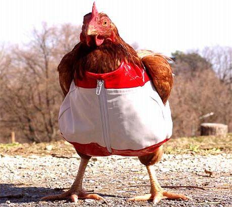 Chandail pour poule ! Chicke10