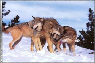 Les loups...... Dm0wtg10