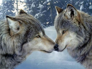 Les loups...... Wolf0010