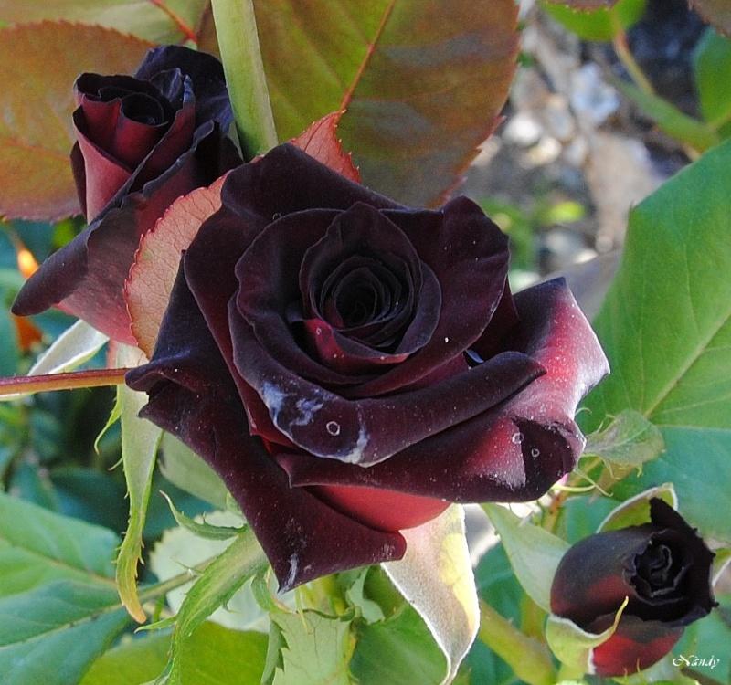 Une rose noire... Roseno11