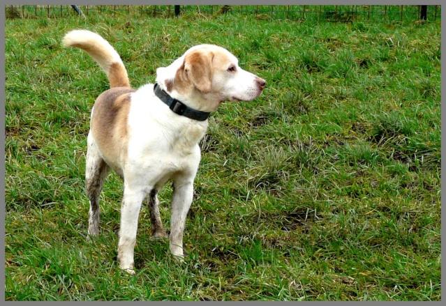 MAXx - beagle 10 ans - Refuge du Beaussart à Boussu en Fagne - Belgique Max10