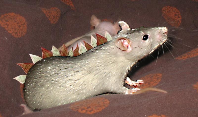 Rat léopard forêt standard lisse ! Dinora10
